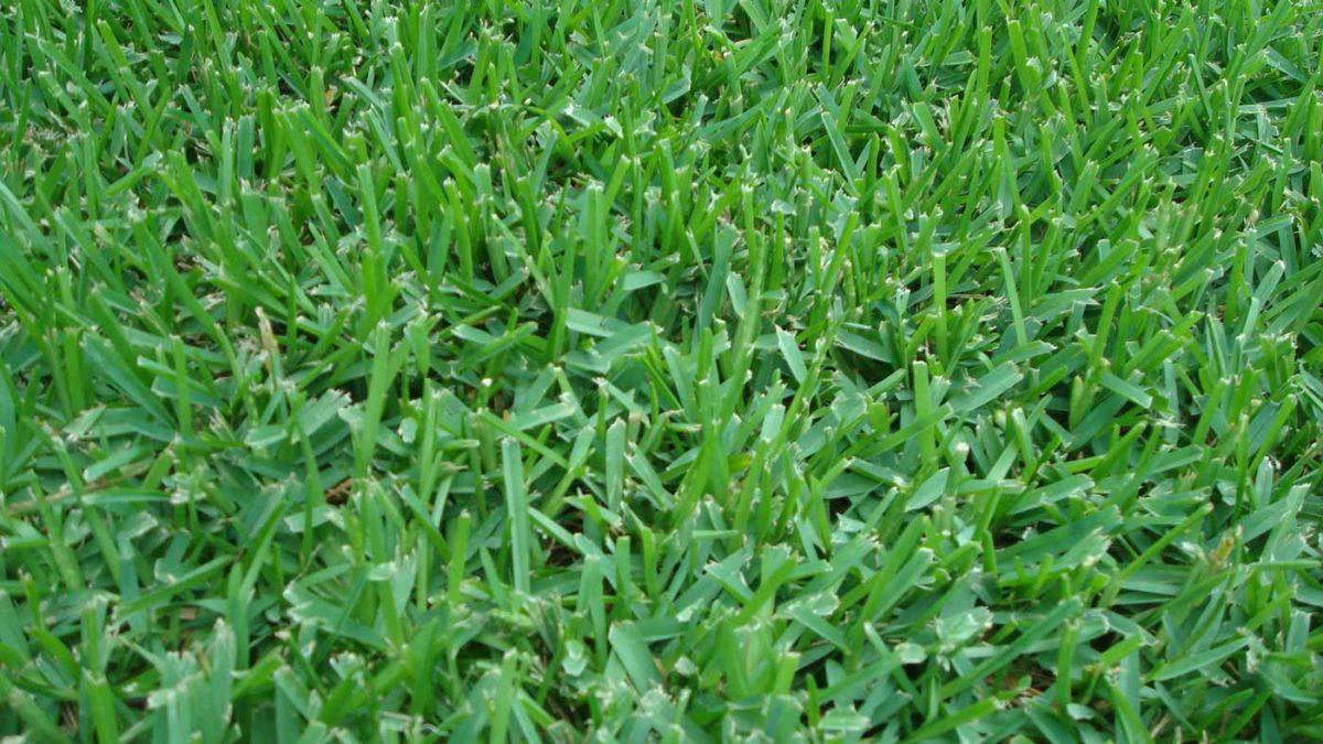 Thatch in St. Augustine Grass