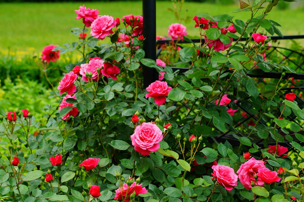 About Roses In Florida Floralawn